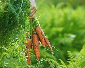 Переедание овощами: чеснока, лука, капусты, моркови | компетентно о здоровье на ilive