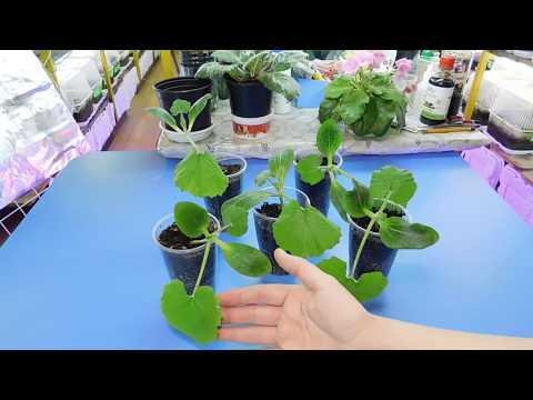 Посадка и выращивание кабачков рассадой из семян в открытом грунте, теплице