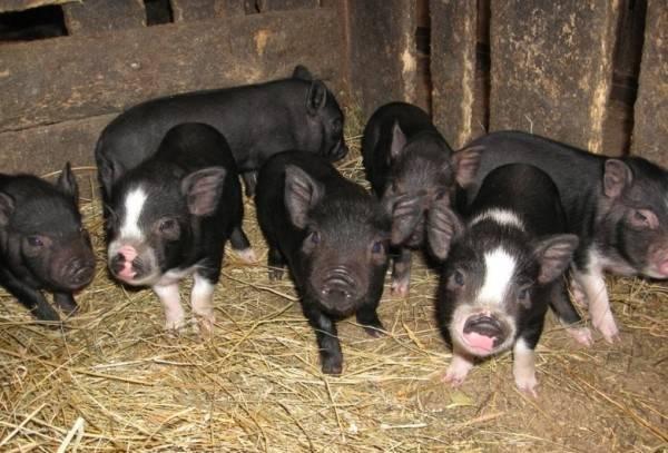 Организация разведения и содержания вьетнамских свиней в домашнем хозяйстве