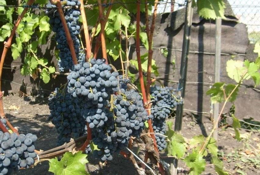 """Виноград """"черный жемчуг"""" - описание сорта, вкусовые качества, отзывы, фото"""