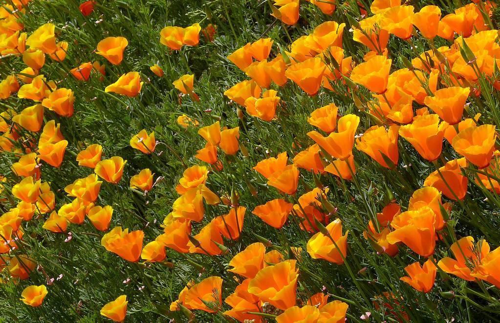 Эшшольция: посадка и уход в открытом грунте, выращивание из семян, фото