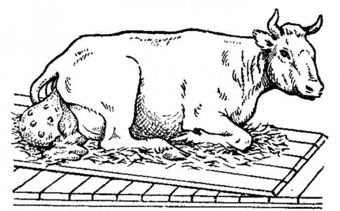 Что делать, если не отходит послед у коровы?