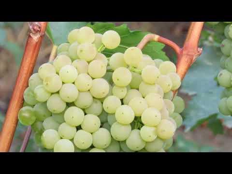 Сорт винограда под названием подарок магарача