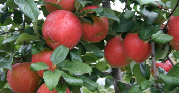 Яблоня хани крисп: описание и характеристики сорта, выращивание с фото