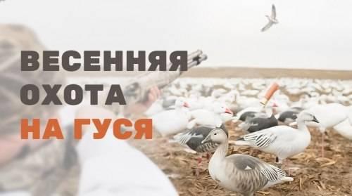 Охота на гуся: как охотиться весной и осенью