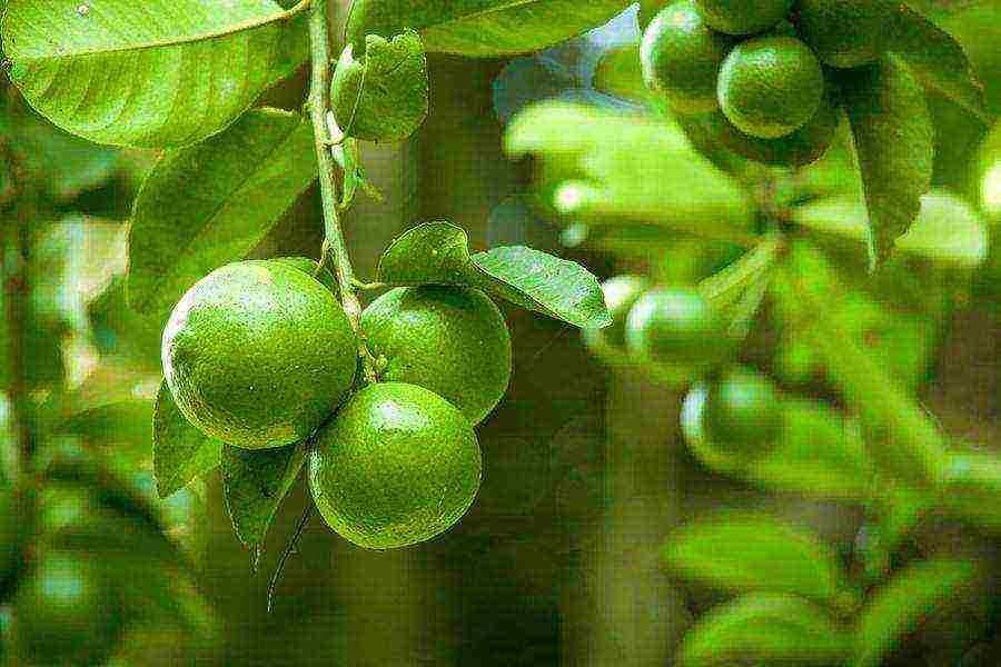 Лаймовое дерево: как вырастить из косточки в домашних условиях, описание сортов с фото