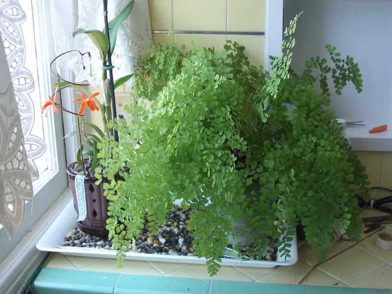 Адиантум: уход в домашних условиях и выращивание