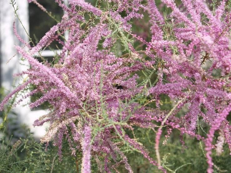 Тамарикс посадка и уход в открытом грунте на урале - сад и огород