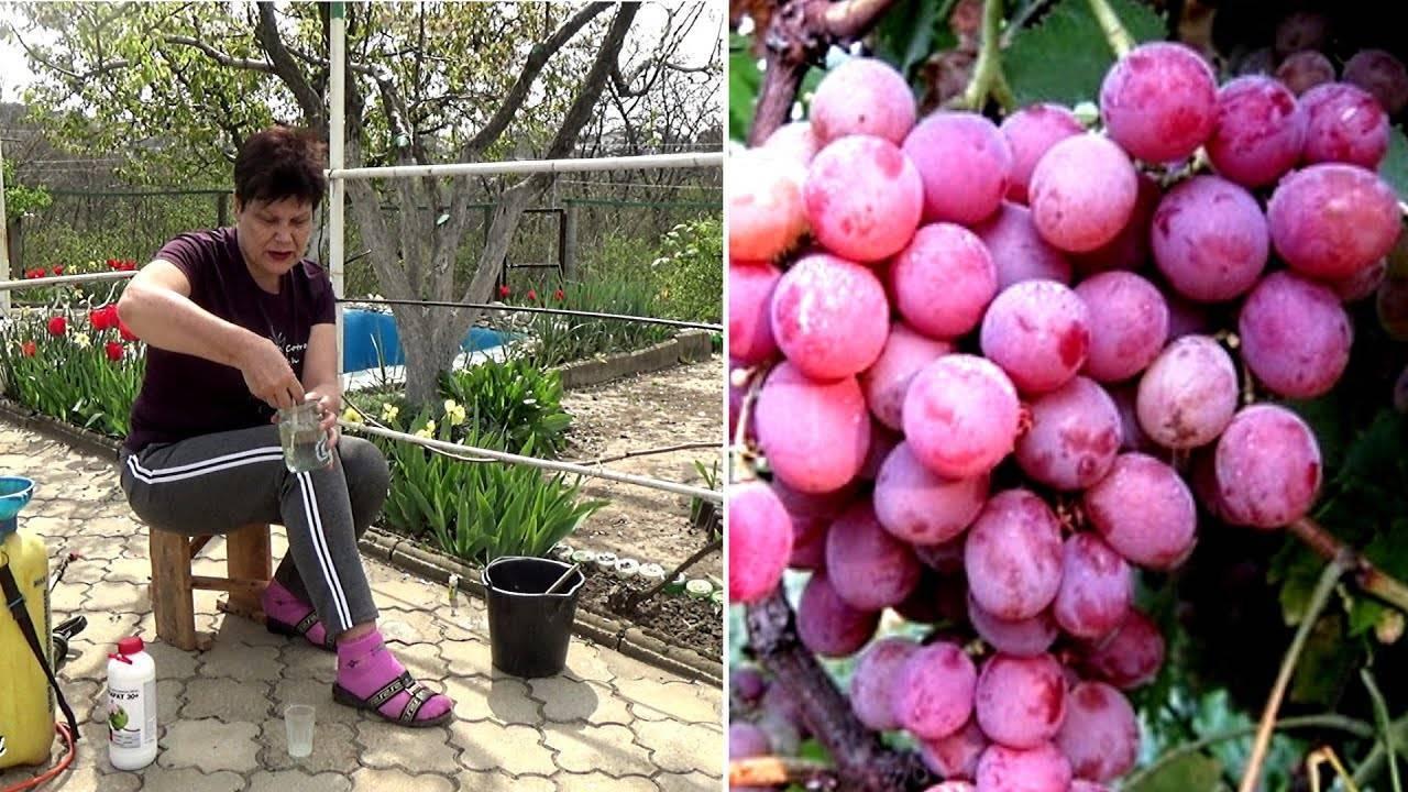 Обработка винограда от заболеваний и вредителей
