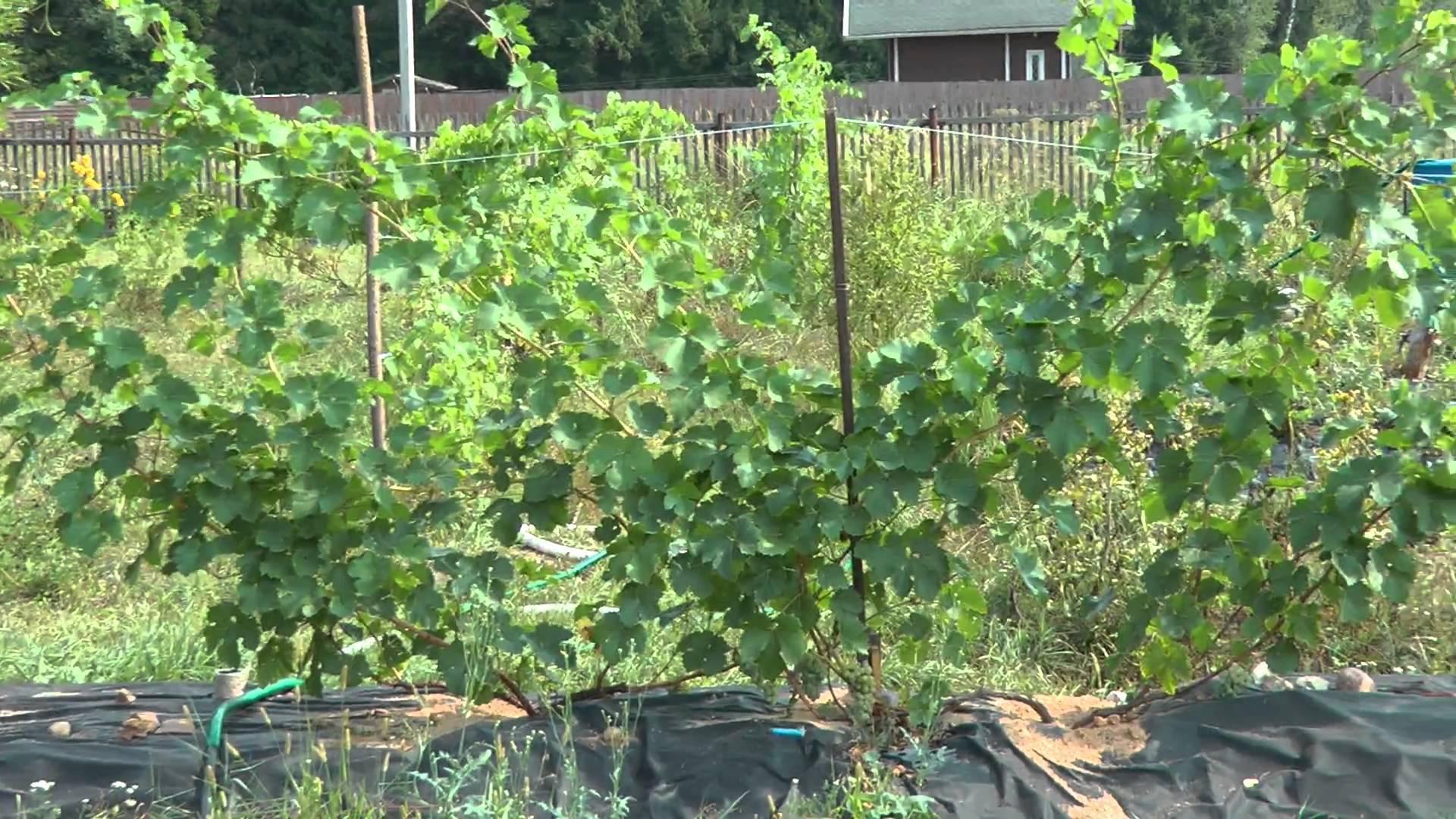 Виноград в подмосковье выращивание без теплицы, для начинающих