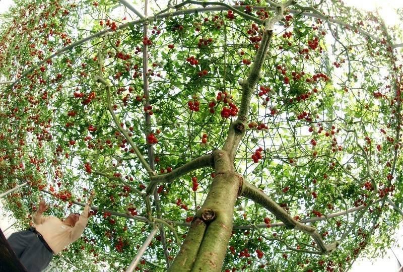 Помидорное дерево в домашних условиях: замена нескольким десяткам кустов обычных томатов