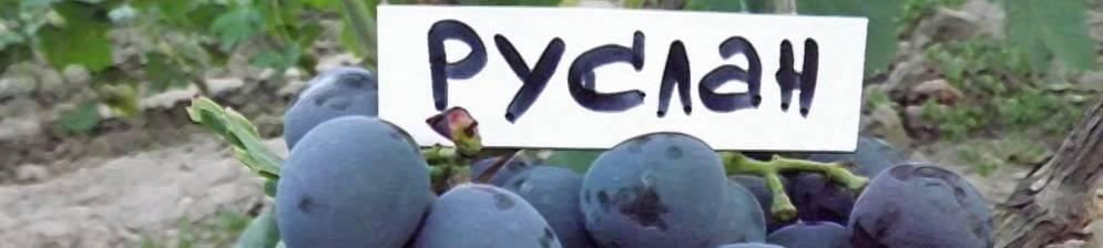 Виноград руслан: неплохой выбор для любителей синего винограда