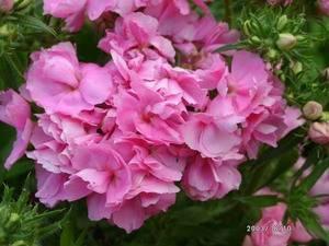 Однолетний флокс друммонда: выращивание из семян, посадка и уход, цветение до поздней осени