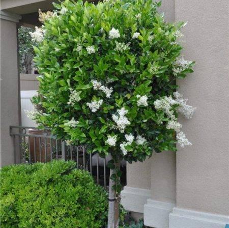 Бирючина: выращивание в саду, виды и сорта