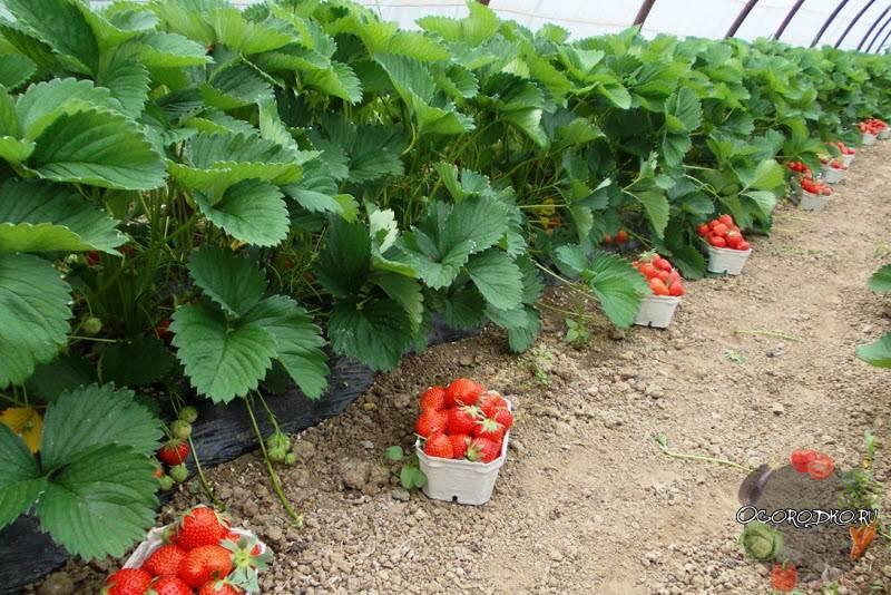 Подкормка клубники весной для хорошего урожая