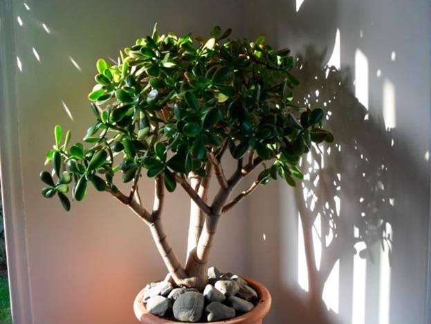 Толстянка домашняя - уход, фото, размножение денежного дерева