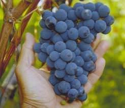 Виноград тимур: описание сорта с характеристикой и отзывами, особенности посадки и выращивания, фото