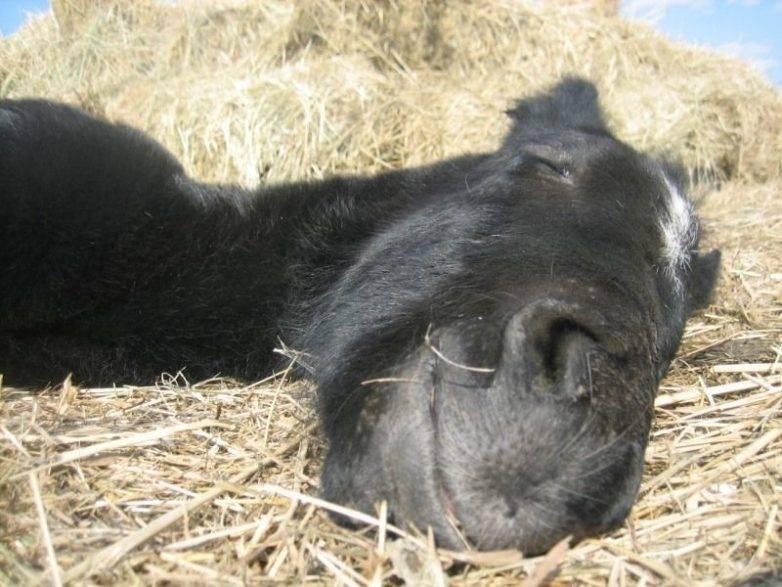 Правда ли, что лошади спят стоя