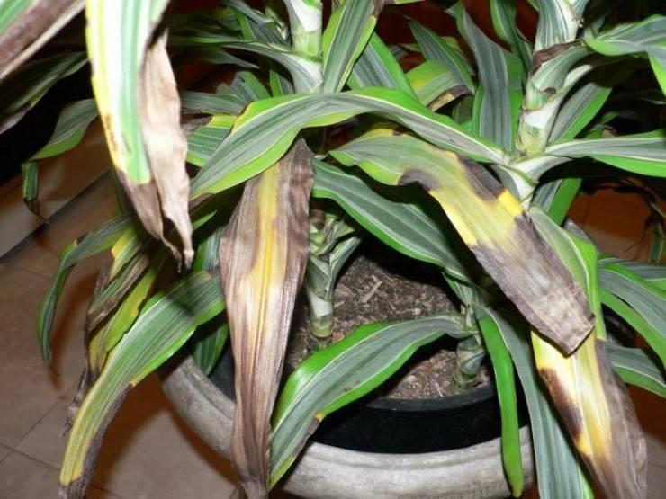 Почему у драцены желтеют и опадают листья - болезни драцены фото и их лечение