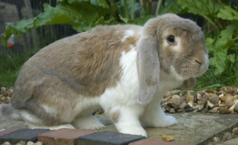 Кролик французский вислоухий (баран): описание породы, содержание и разведение, уход и кормление