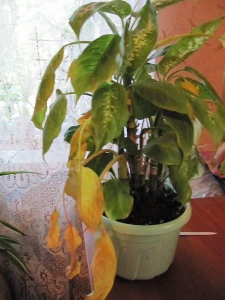 Если у диффенбахии желтеют листья, в чем причина и что делать