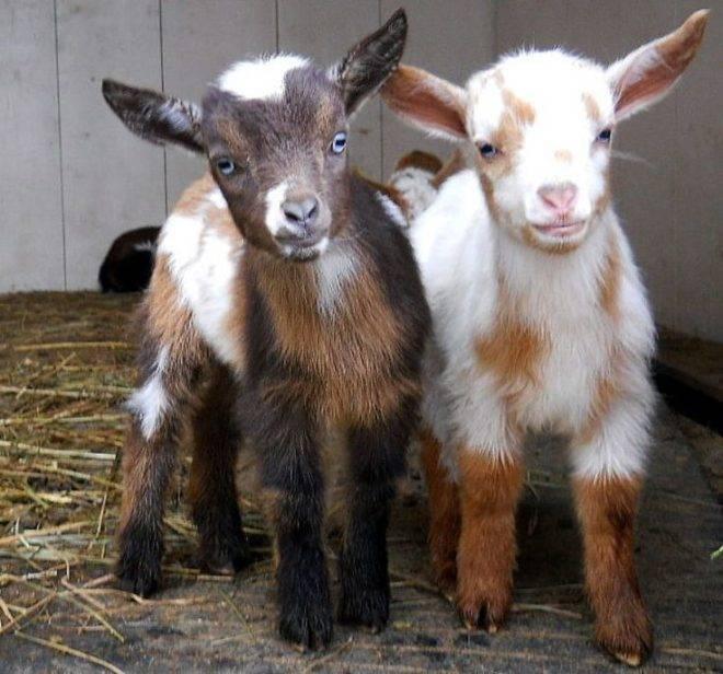 Камерунская коза: описание породы, характеристика