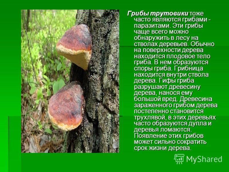 ✅ грибы паразиты характеристика кратко - питомник46.рф