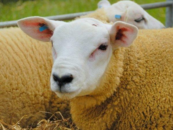 ᐉ овца и баран: в чём отличие? - zooon.ru
