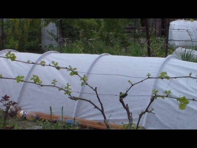 Укрытие винограда на зиму: опыт сибирских виноградарей