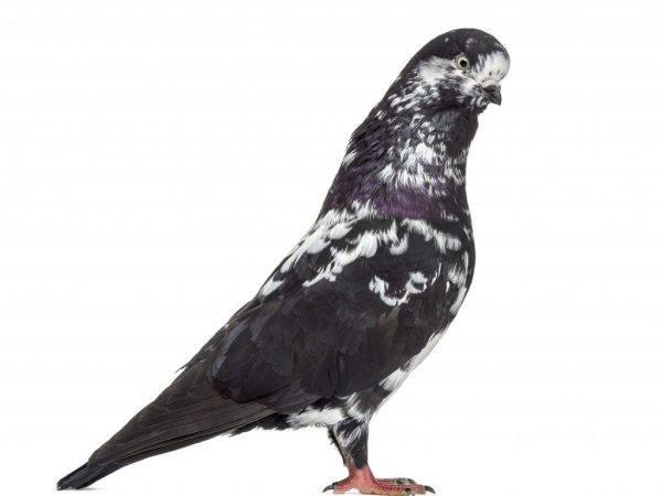 Особенности голубей Типплеров