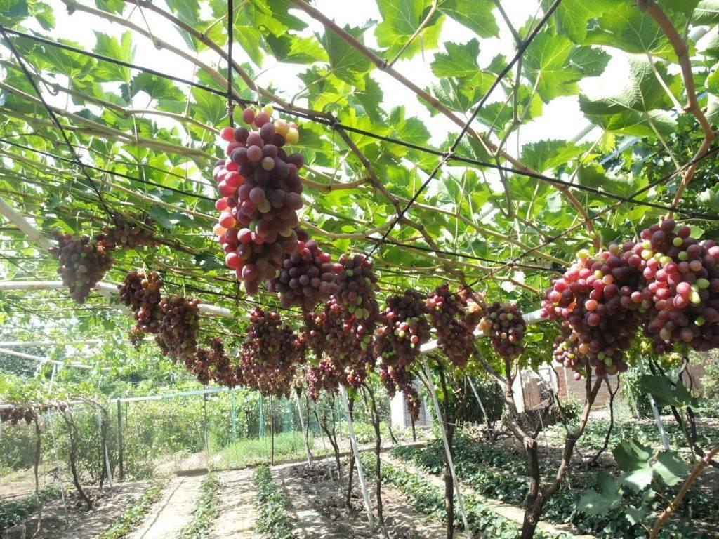 Описание сорта винограда дружба с отзывами в 2020 году