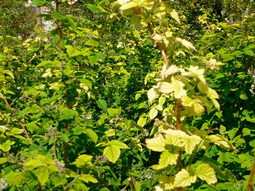 Почему желтеют листья у смородины: 4 причины и их лечение