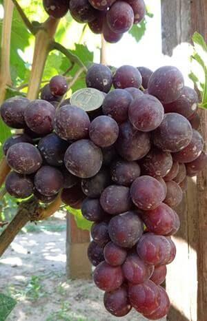 Виноград «низина»: советы и рекомендации по культивированию