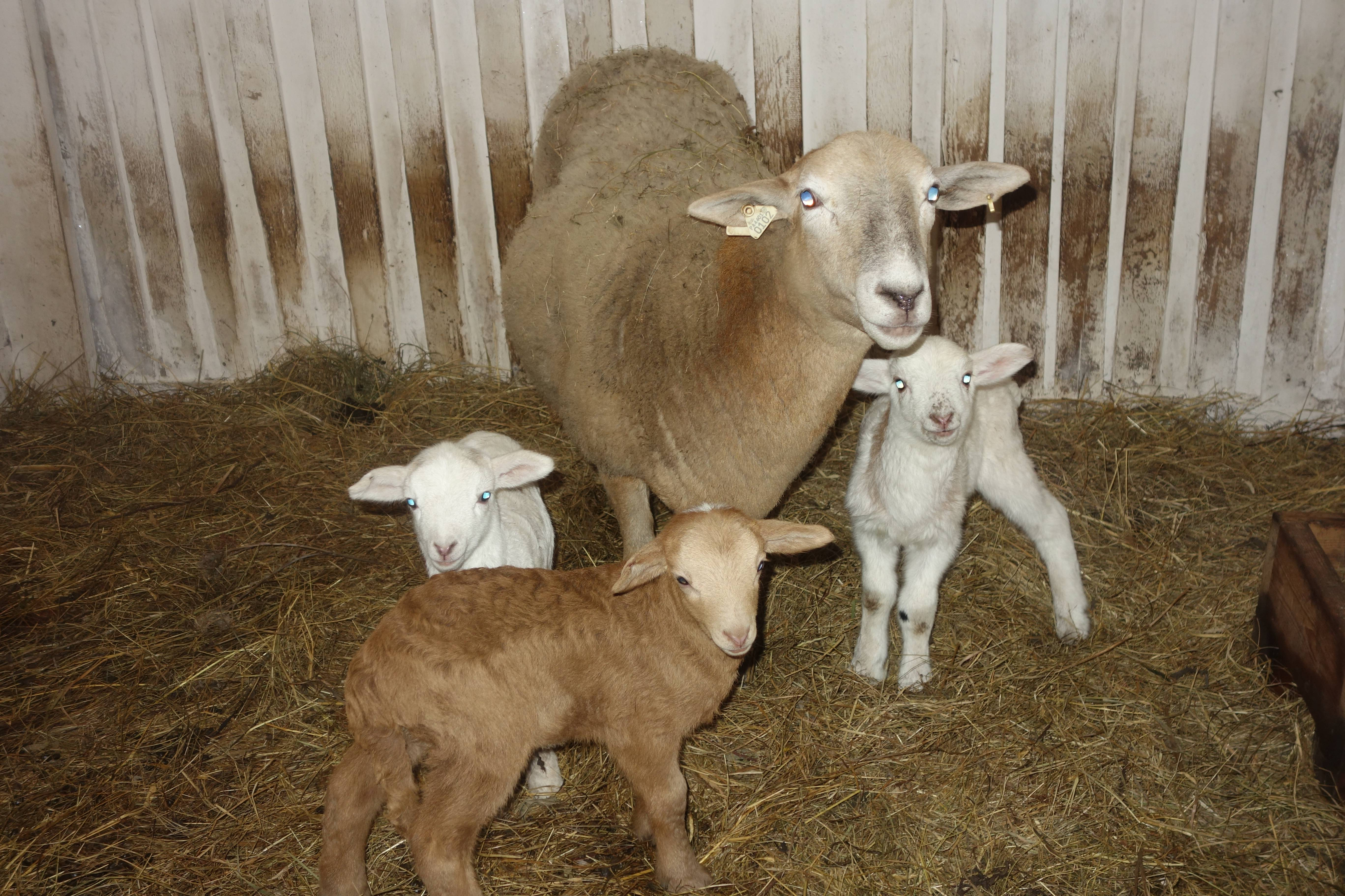 Катумские овцы: описание породы, отзывы, разведение