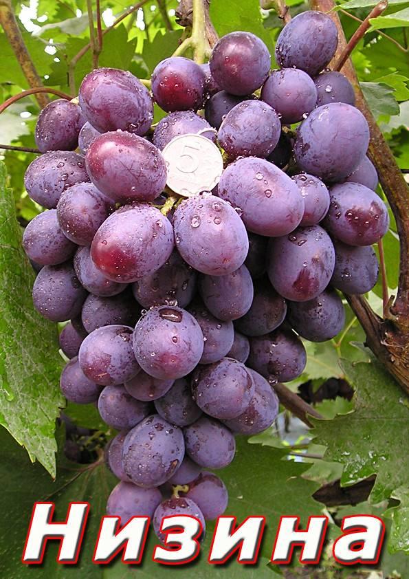 Описание винограда ягуар - всёпродачу