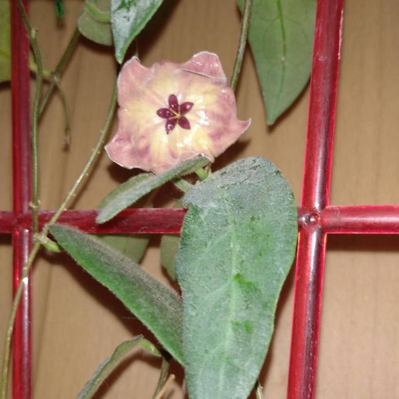 Хойя грацилис (gracilis): фото, описание, способы выращивания цветка, а также проблемы, которые могут у него возникнутьдача эксперт