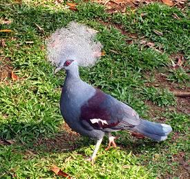 Венценосный голубь. образ жизни и среда обитания венценосного голубя