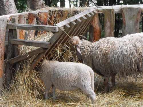 Содержание и кормление овец зимой