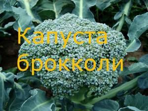 Капуста брокколи: фото, выращивание и уход в открытом грунте, обзор лучших сортов семян, а также рекомендации, где и когда их сажать русский фермер