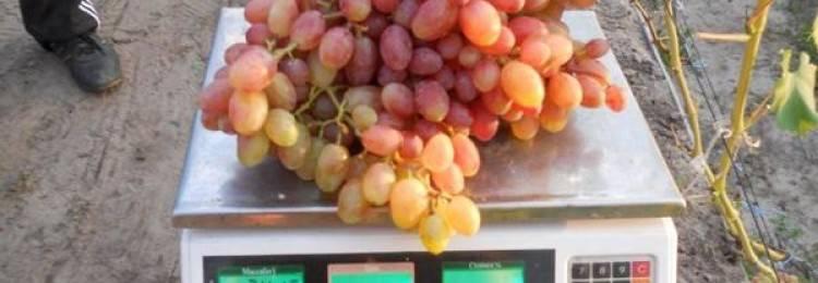 Виноград рута: описание сорта, фото, отзывы