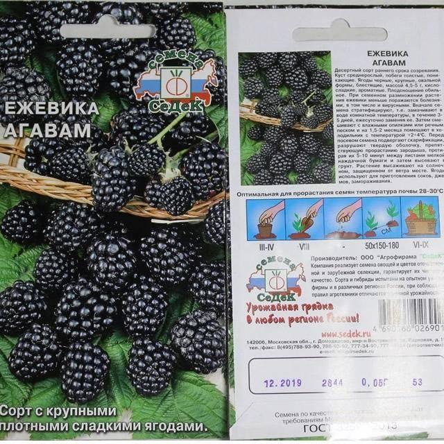 Ежевика агавам - описание сорта и советы по уходу