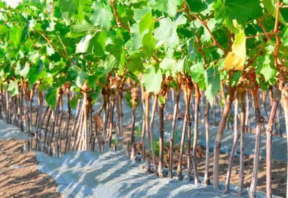 Размножение винограда черенками весной разными способами