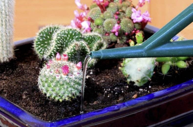 Кактус домашний: уход, условия для цветения, размножение