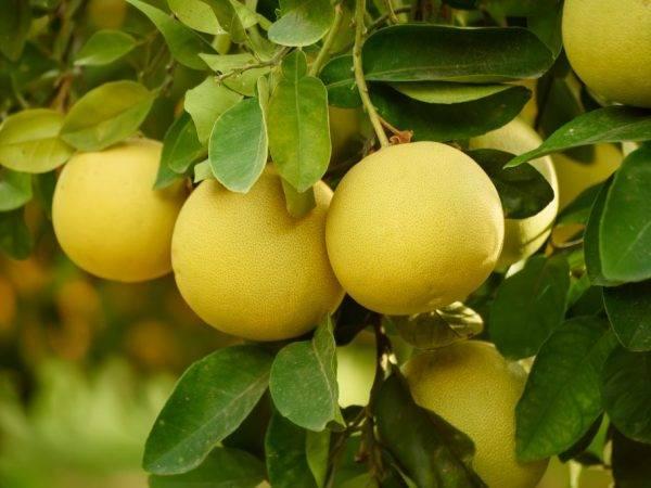 Как вырастить грейпфрут в домашних условиях