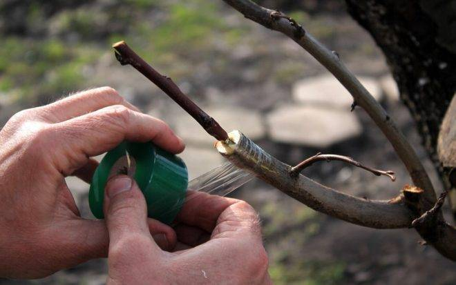 Как правильно привить яблоню весной - пошаговая инструкция для начинающих