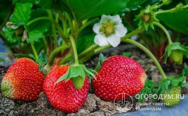 Клубника елизавета: описание сорта, выращивание, посадка и уход, отзывы с фото