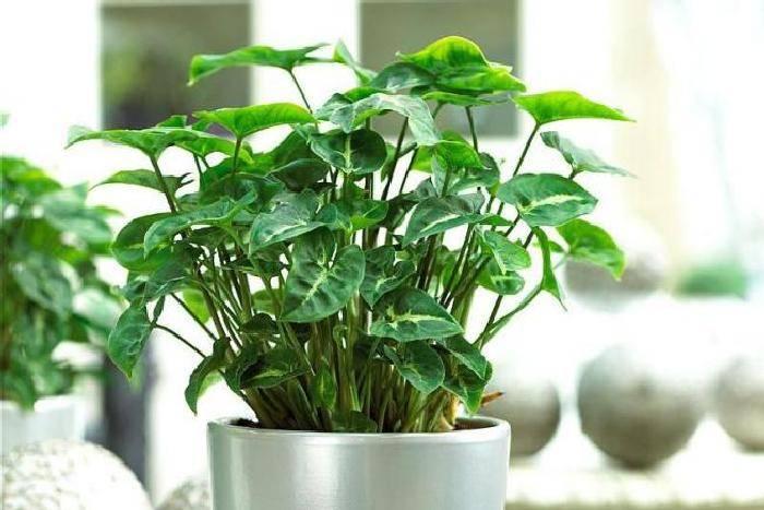 Сингониум уход в домашних условиях: размножение цветка, почему желтеют листья, приметы и суеверия, ядовит или нет