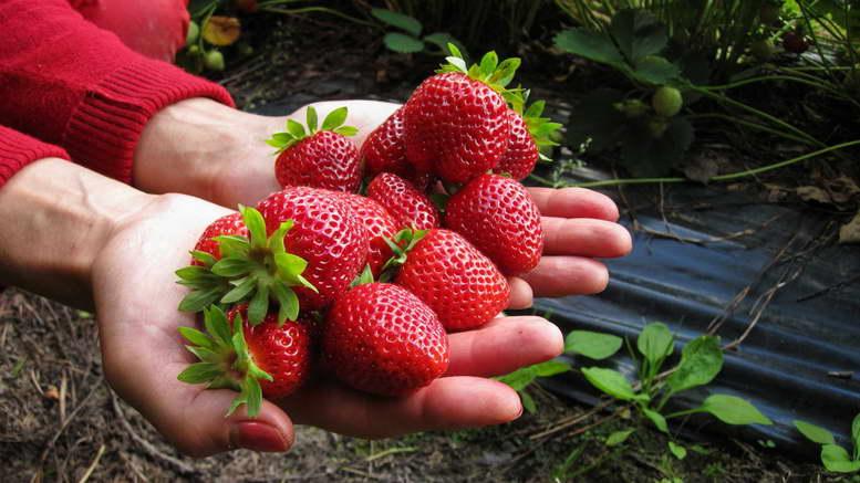 Чем подкормить клубнику весной: как правильно выбрать удобрение при посадке, видео и фото