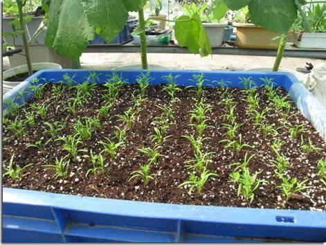 Самсон морковь описание сорта фото – описание и характеристика сорта, особенности выращивания, отзывы, фото