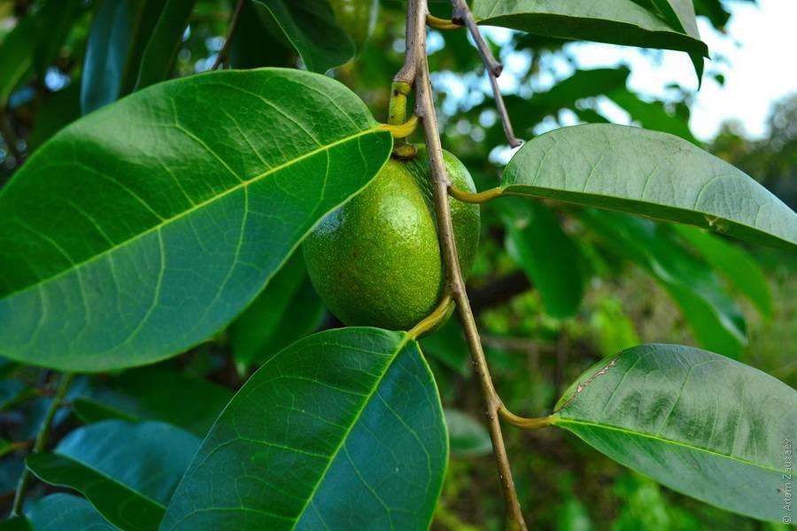 От комнатного «бонсая» до тропического исполина: фикус «бенгальский»